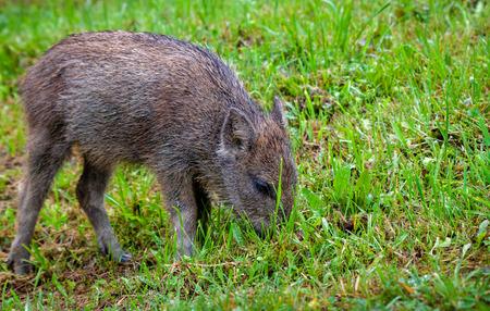 Boar cub feeding on a meadow