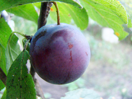 plum fruit hanging on a tree in the process of maturation