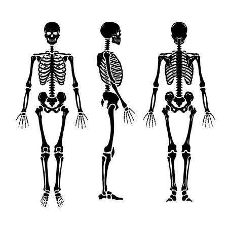Illustration pour Anatomical human skeleton, in three positions. - image libre de droit