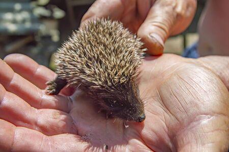 Photo pour Little wild hedgehog in the hands of man. Wild animals. - image libre de droit