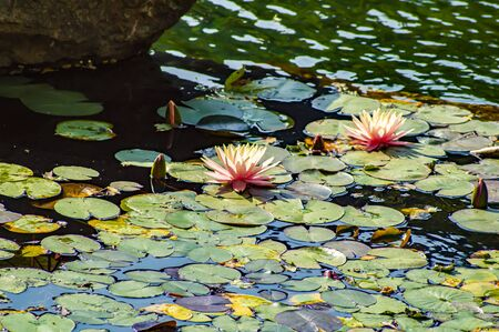 Photo pour Blooming pink lily flowers on the water. Water plants. Background image. - image libre de droit