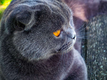 Photo pour Portrait of a Scottish Fold cat with orange eyes. Gray Scottish Fold. British cat breed. Kitten with brown eyes. Pets. Predators of the kitten family. Pets on the street. Background image. - image libre de droit