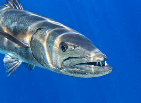 Barracuda is in The Indian Ocean, Maldives