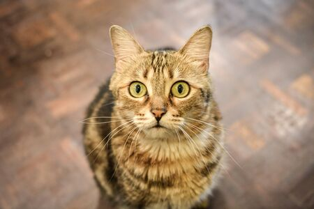 Photo for A furry striped cat looking up forward to camera asking for love and food with blurred parquet floor background. - Royalty Free Image