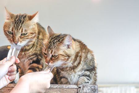 Photo pour Two cute brown striped furry cats enjoy liquid cat snack sachets from human hands - image libre de droit