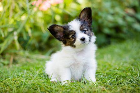 Foto de Cute puppy of breed papillon on green grass in the garden - Imagen libre de derechos