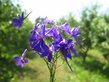 Harebell wildflowers - Campanula rotundifolia in the meadow