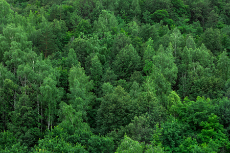 Photo for Green forest trees texture background. Nature landscape - Royalty Free Image