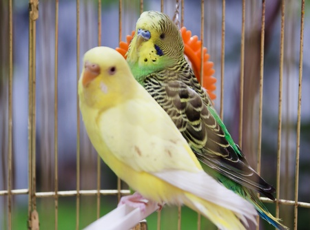 Photo for yellow and green parrots in  cage outdoor - Royalty Free Image