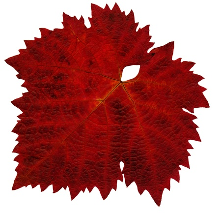 A single colored leaf from the vine in autumn