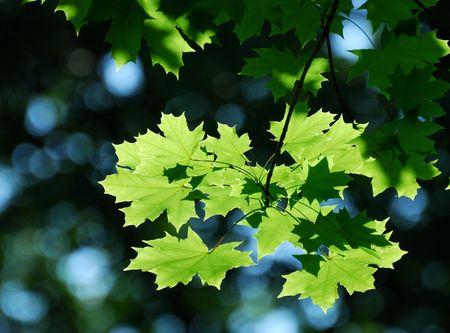 Photo pour Maple leaves in the sun light. - image libre de droit