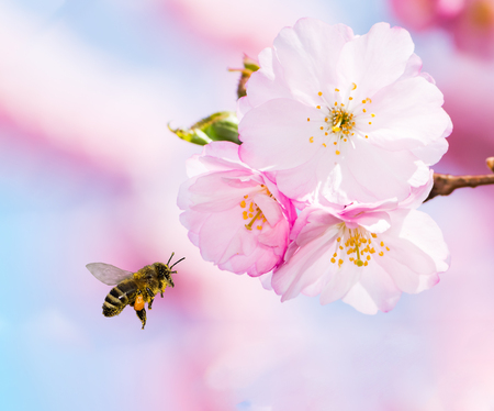 Photo pour Bee full of pollen flying to pink cherry blossoms - image libre de droit