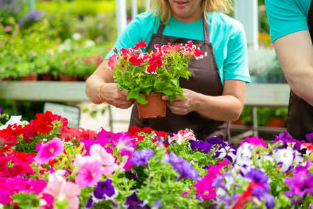 Photo for Unrecognizable female gardener holding pot with pretty flowers. Blonde woman in black apron caring and checking blooming plants in greenhouse with colleague. Gardening activity and summer concept - Royalty Free Image