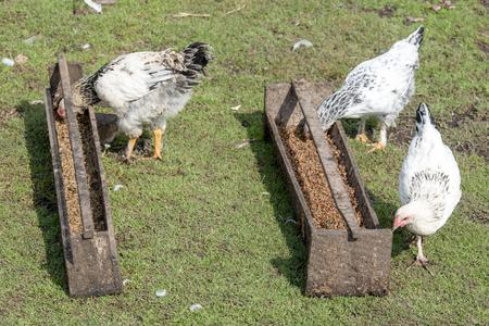 Foto de White hens with black spots walk in the yard next to the feeder with food - Imagen libre de derechos