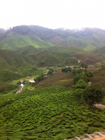 Tea farm Cameron Highland