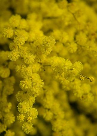 Photo pour Yellow Mimosa - image libre de droit