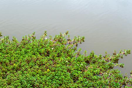 Euphorbia thymifolia L  on river