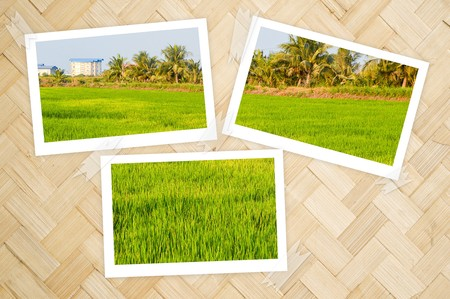 photo green rice field in country garden Thailand on bamboo wall texture