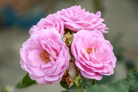 pink damask rose flower in garden
