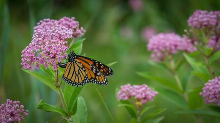 Photo pour Monarch butterfly on a flower - image libre de droit