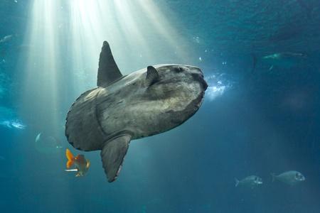 Ocean sunfish  Mola mola  in Lisbon Oceanarium