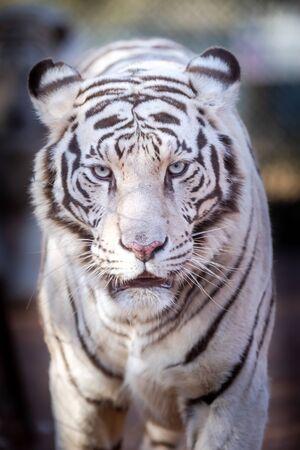Photo pour White Bengal Tiger in a close up view portrait looking into the camera - image libre de droit