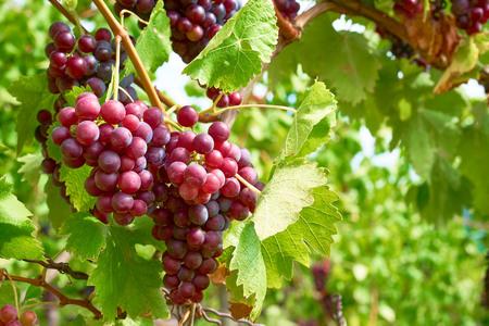 Bunch of vine berries in sunshine