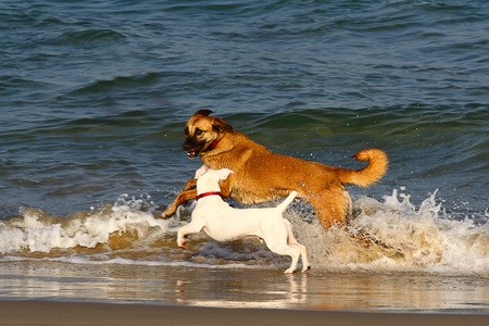 Two dogs playing and splashing in water at the beach