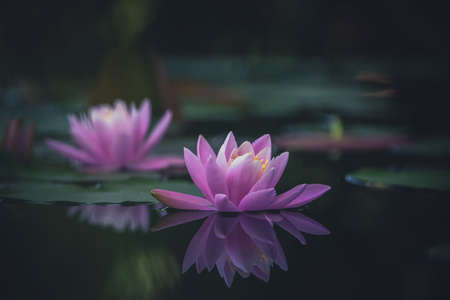 Photo pour Pink lotus flower is reflected in the pond water - image libre de droit