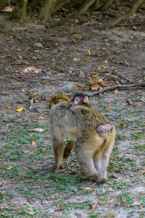 Monkey baby and monkey mother. Monkey mother carries the little monkey through the forest
