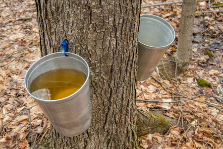 Foto per Pail used to collect sap of maple trees to produce maple syrup in Quebec. - Immagine Royalty Free