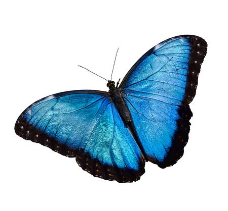 Foto de Blue Morpho butterfly isolated over white background - Imagen libre de derechos