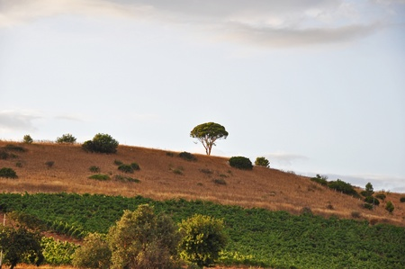 lonely tree in sardinia