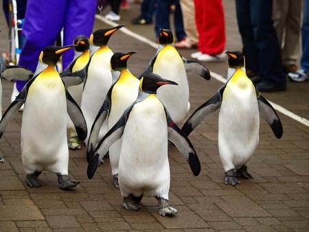 King penguin in zoo