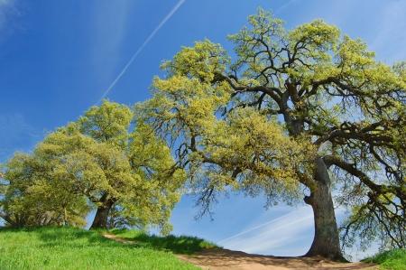 oak trees on a hillside in spring