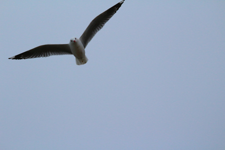 Photo for Seagull flying above Kakanui Beach Reserve, Awamoa - Oamaru, New Zealand - Royalty Free Image