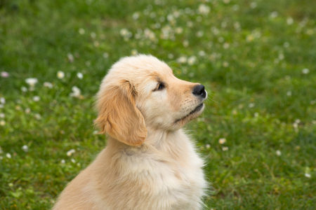 Photo for Puppy dog of the Golden Retriever breed. A two month old Golden Retriever dog - Royalty Free Image