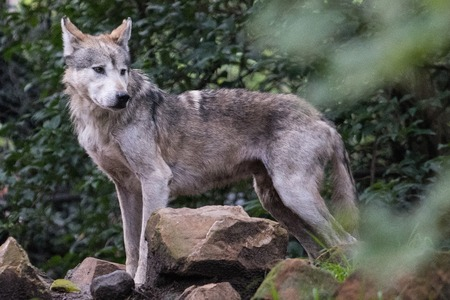 Photo pour Mexican wolf - image libre de droit