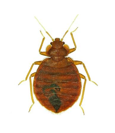 Bedbug  Cimex lectularius  isolated on white background