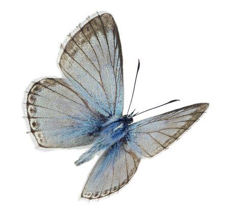 Photo for Male Chalkhill blue (Polyommatus coridon) in flight - Royalty Free Image