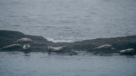 multiple seals resting on a rock, iceland
