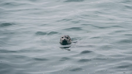 seal swimming in the ocean common seal. head out of water funny