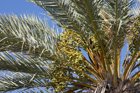 Palm tree with its fruits that are a bit hide among leaves can be seen against blue sky background in Nice, France.