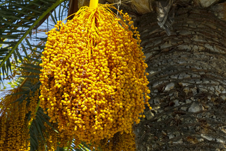 Fruits, which still grow on a palm tree, can be seen from close up