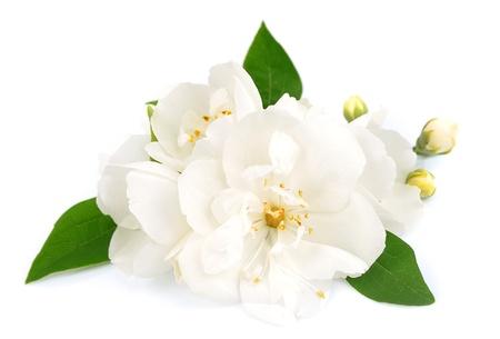 Foto für White flowers of jasmine on the white  - Lizenzfreies Bild