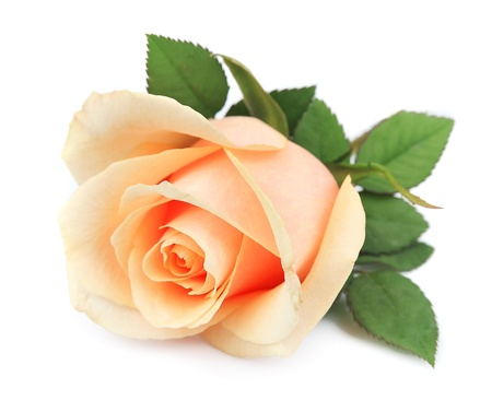 Beautiful orange rose on white