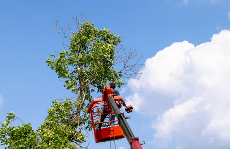 Foto de Tree pruning and sawing by a man with a chainsaw are standing on the platform of a mechanical chair lift between the branches of an old large tree. - Imagen libre de derechos