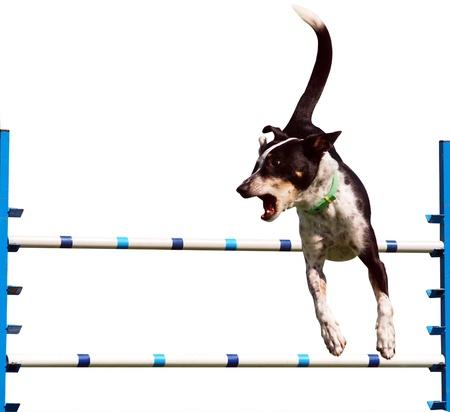 Sheepdog Agility Dog over a Jump Isolated