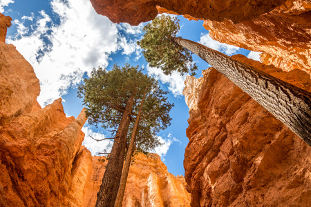 Pine trees in Bryce canyon, USA