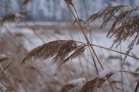 Dry winter grass in snow